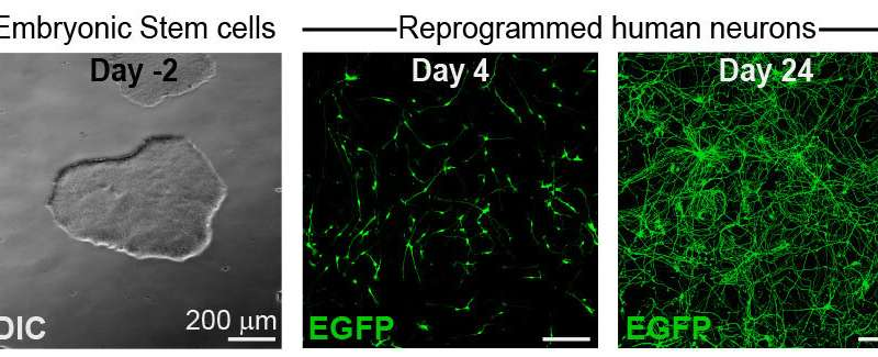 Stem cells reprogrammed into neurons could reveal drugs harmful to pregnancy