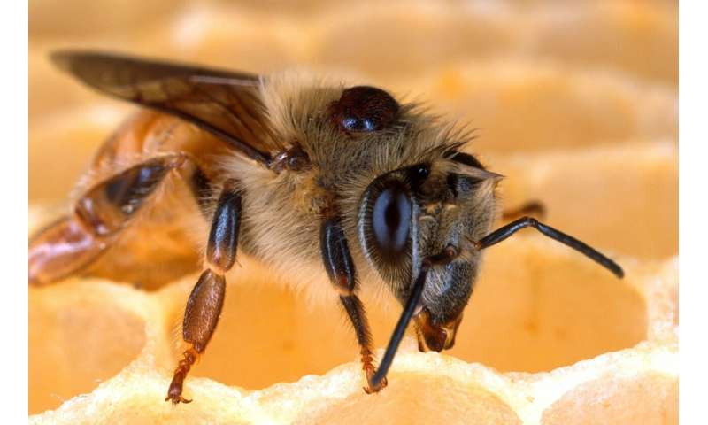 Study shows dangerous bee virus might be innocent bystander