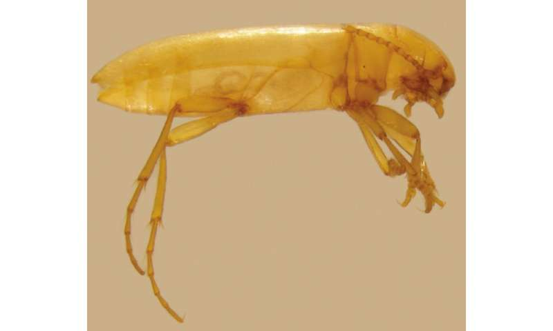 The first case of a Portuguese beetle living exclusively in groundwater