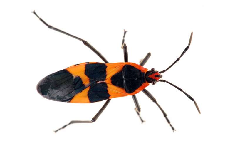 The milkweed bug's orange wings and DNA: How insects' diets are revealed by the genome