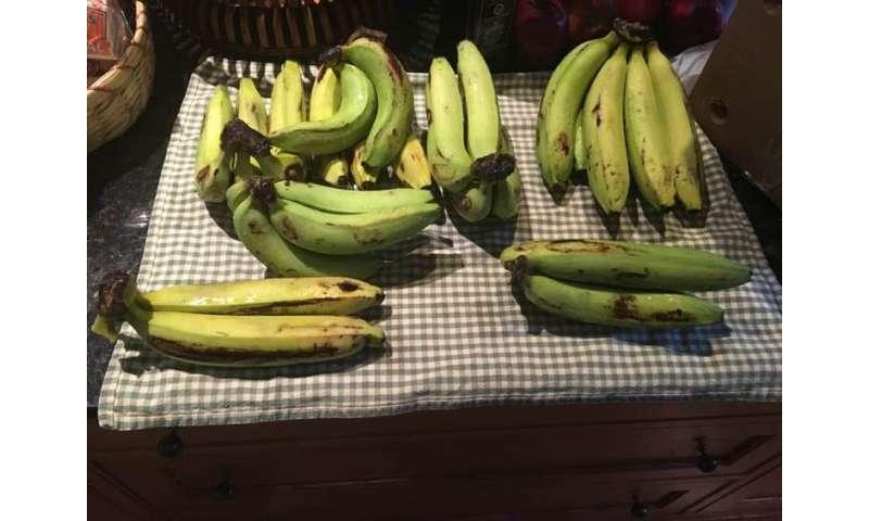 La búsqueda para salvar al plátano de la extinción.
