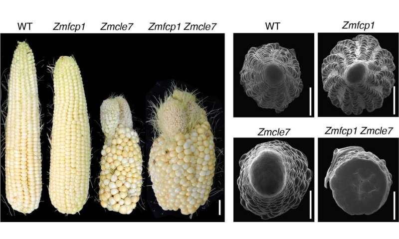 To protect stem cells, plants have diverse genetic backup plans