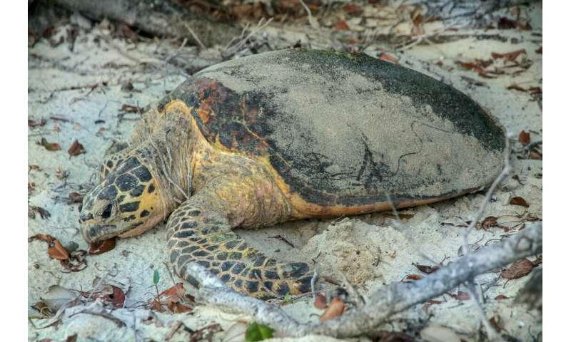 Totally cool turtles may help save species
