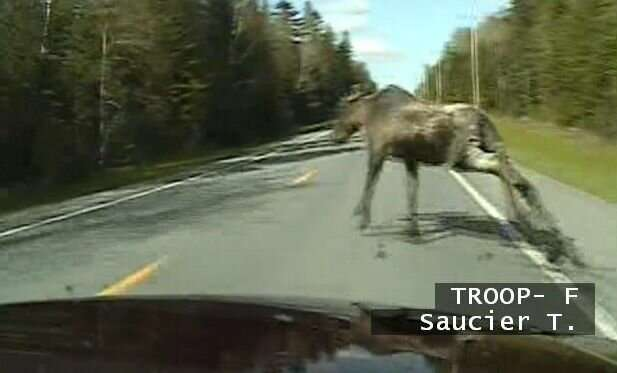 Traffic accidents involving moose are 13 times more likely to result in human death