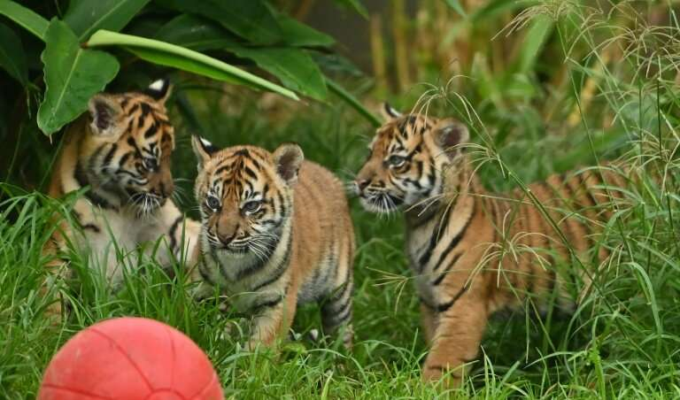 Two female cubs and their brother explored the outside environment for the first time at Sydney's Taronga Zoo