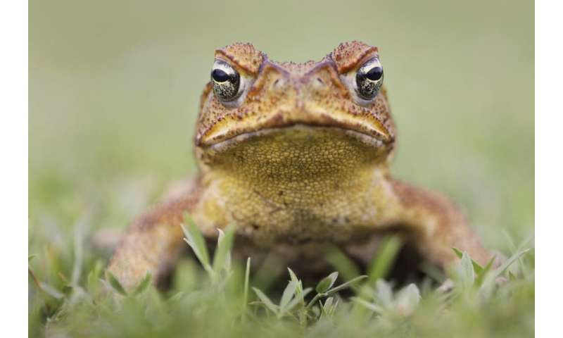 What is a waterless barrier and how could it slow cane toads?