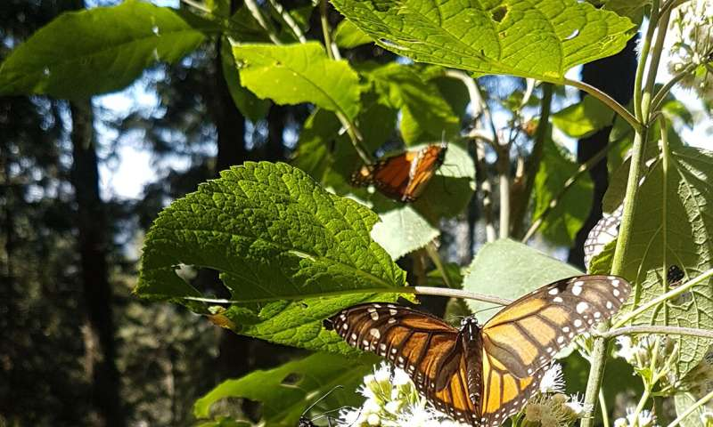 When it comes to monarchs, fall migration matters