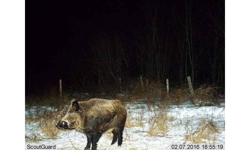 Los cerdos salvajes invaden las provincias canadienses