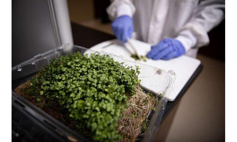 Los investigadores buscan extender la vida útil de los vegetales nutritivos