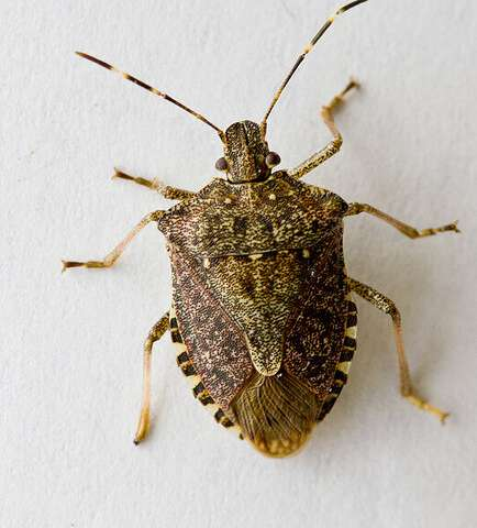 Researchers determine ideal areas and timing for biological control of invasive stink bug
