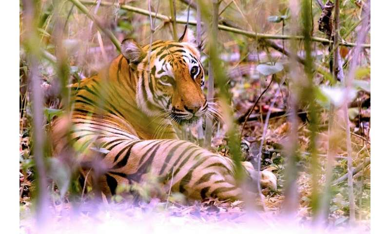 Climate change may destroy tiger's home
