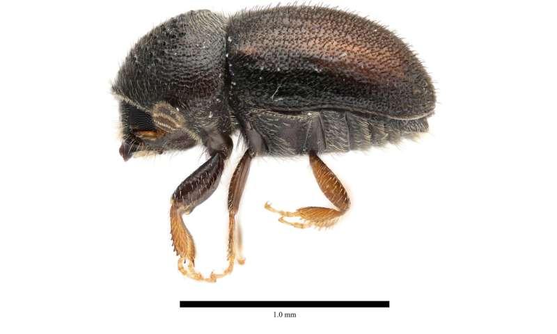 New Species of Loquat-Killing Beetle Identified