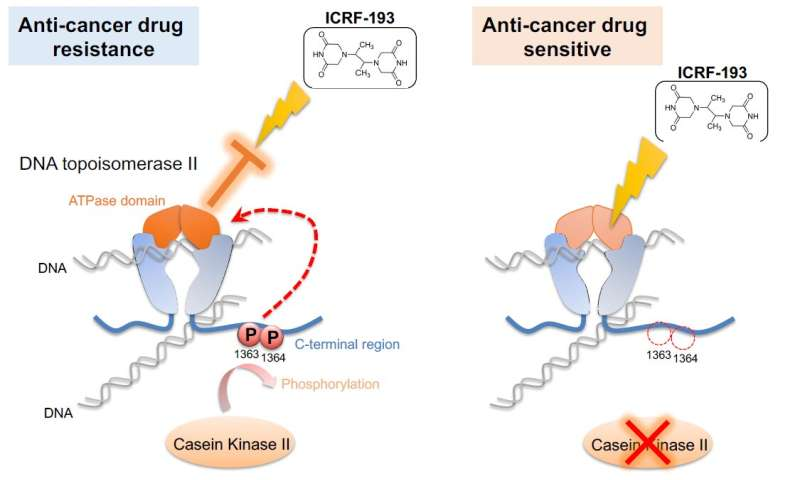 ++Anticancer mechanism revealed in yeast experiments