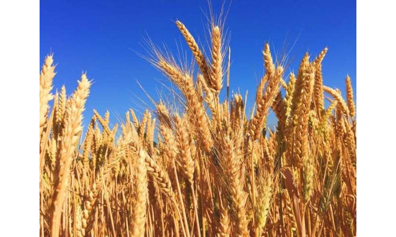 Climate extremes explain 18%-43% of global crop yield variations