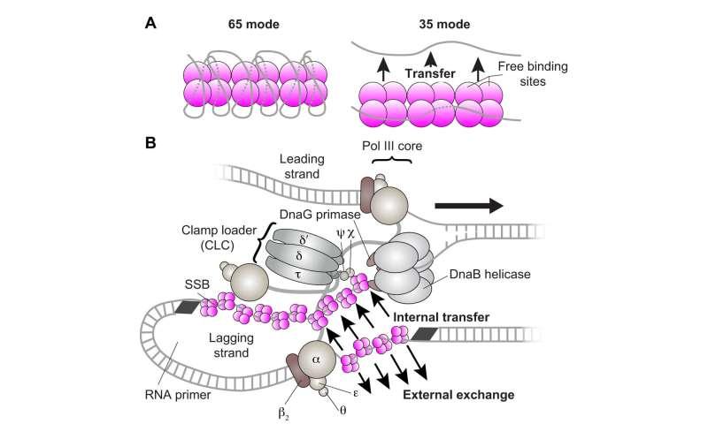 복제단백질 복합체 (replisome) 내에서 단일가단 DNA를 보호하는 SSBs 단백질의 재활용 매커니즘 밝혀