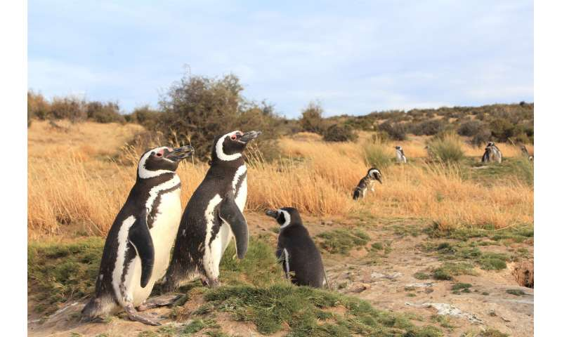 Female penguins are getting stranded along the South American coast