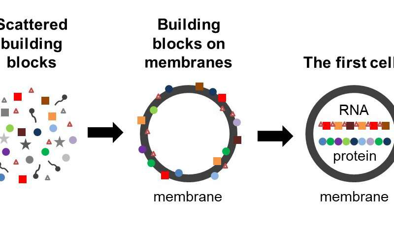 First cells may have emerged because building blocks of proteins stabilized membranes