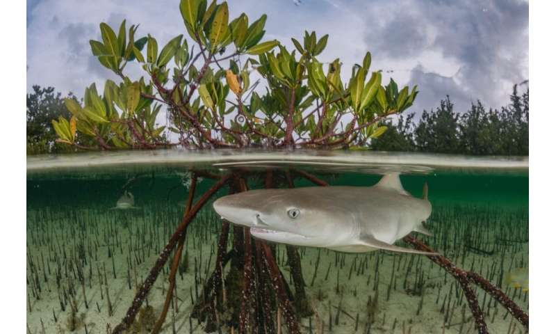 From sharks in seagrass to manatees in mangroves, we've found large marine species in some surprising places