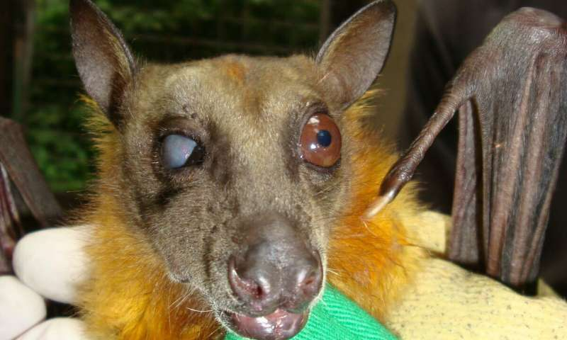 Fruit bats are reforesting African woodlands