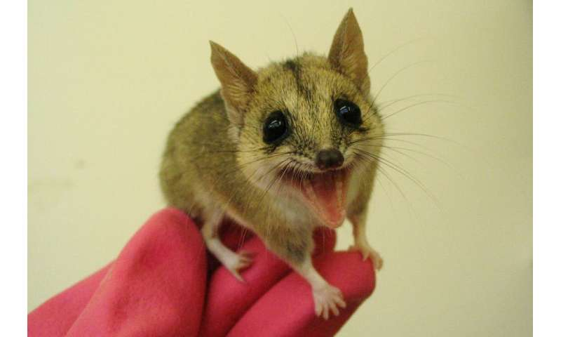 Giving marsupials scents from suitors helps breeding programs