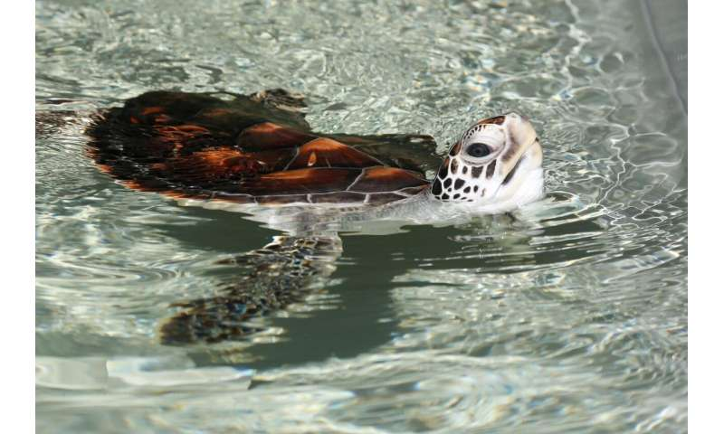 Good viruses and bad bacteria: A world-first green sea turtle trial