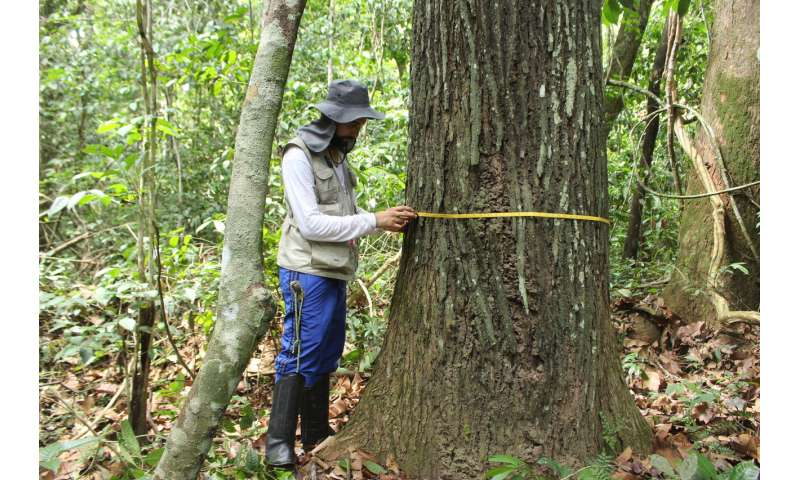 Human history through tree rings: Trees in Amazonia reveal pre-colonial human disturbance