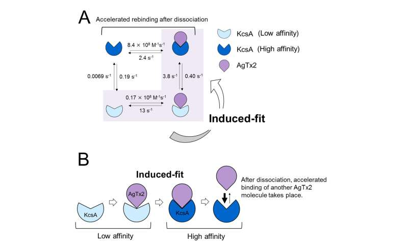 Mechanism of scorpion toxin inhibition of K  channel elucidated using high-speed AFM