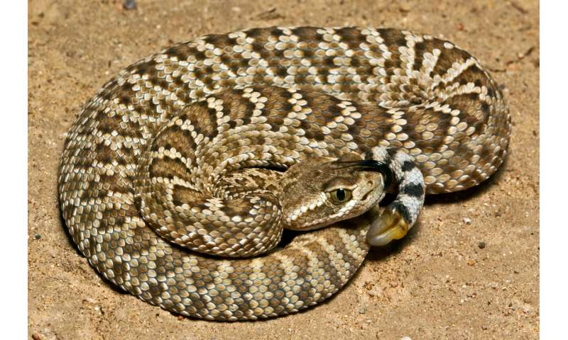Mojave rattlesnakes' life-threatening venom is more widespread than expected