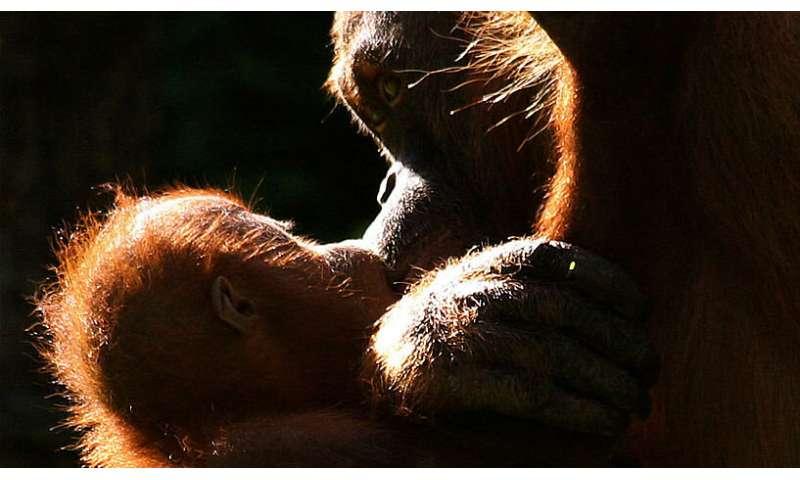 [Image: 2-orangutansma.jpg]