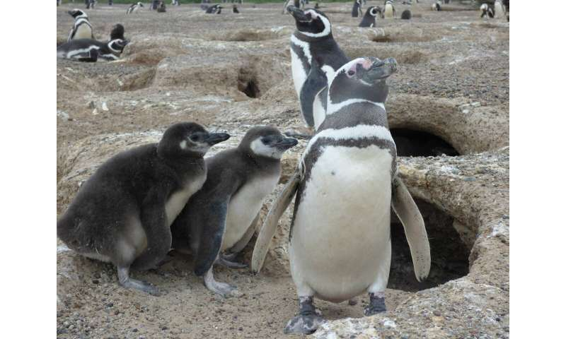 Parents don't pick favorites, at least if you're a Magellanic penguin