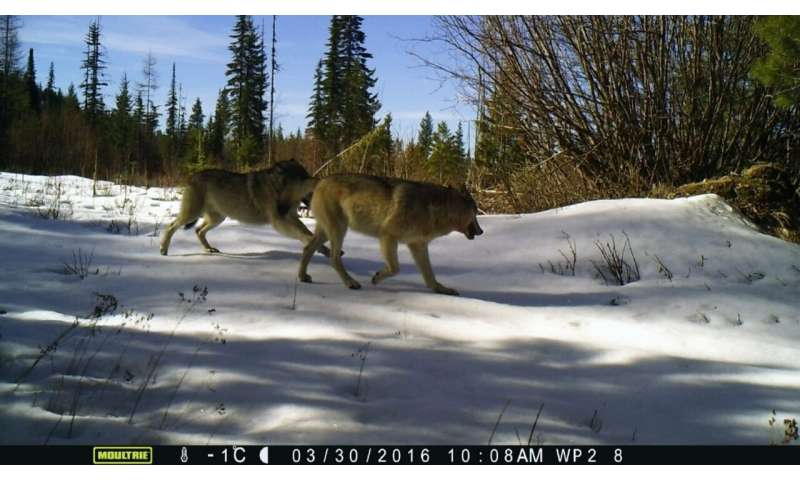 The return of wolves: how deer escape tactics help save their lives