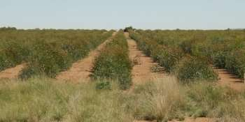 The secrets of secretion—isolating eucalyptus genes for oils, biofuel