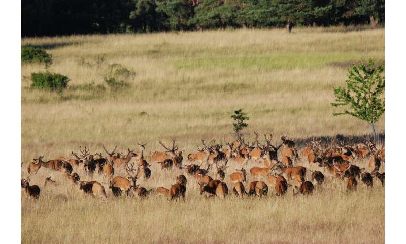 Wild red deer contribute to the preservation of open landscapes