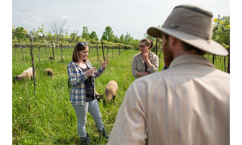 Researchers explore the benefits of an unconventional pairing – integrating sheep in a vineyard system