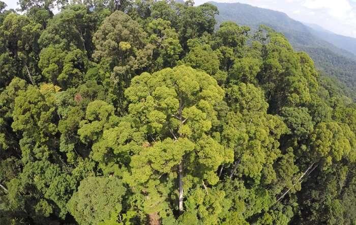 Los científicos descubren, trepan y describen el árbol tropical más alto del mundo.
