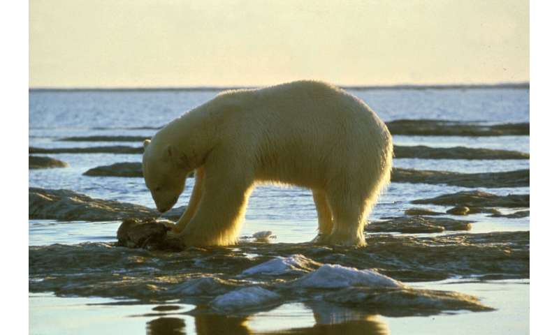 Study reveals new genomic roots of ecological adaptation in polar bear evolution