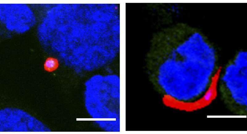 Researchers identify human protein that aids development of malaria parasite