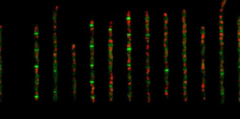 Researchers unravel mechanisms that control cell size