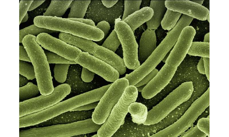 Scientists discover how 'superbug' E. coli clones take over human gut
