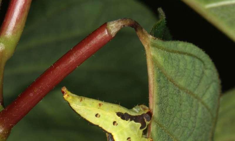 Caterpillars turn anti-predator defense against sticky toxic plants