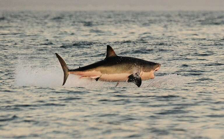 Great white sharks fitted with cameras on their dorsal fins have been filmed for the first time stalking prey in dense kelp fore