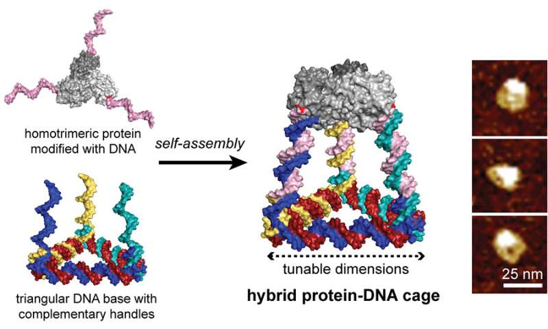 Programmable 'Legos' of DNA and protein building blocks create novel 3D cages