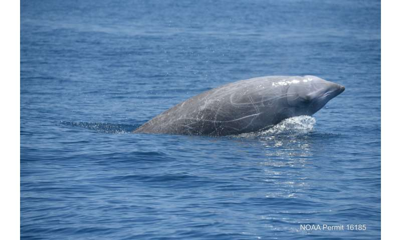 Study confirms beaked whales' incredible diving abilities