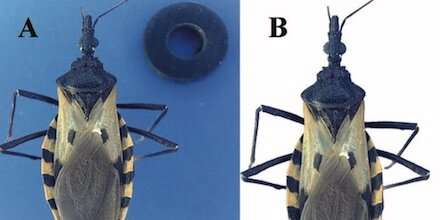 Artificial intelligence identifies 'kissing bugs' that spread Chagas disease