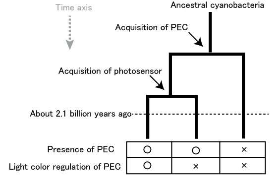 Discovery of the photosensor for yellow-green light-driven photosynthesis in cyanobacteria
