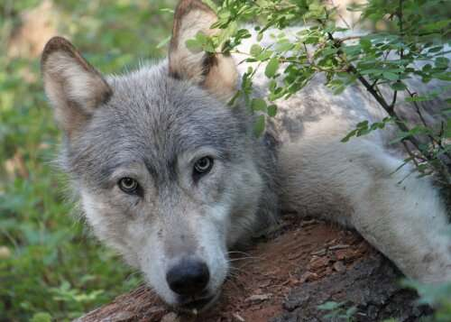 Tracking conflict and a migratory wolf