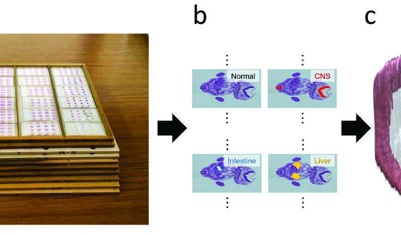 Reconstructing histological slices into 3-D images