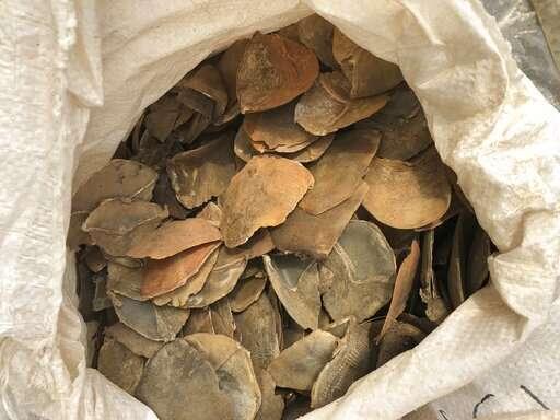 Record Singapore bust puts scrutiny on overlooked pangolin (Update)