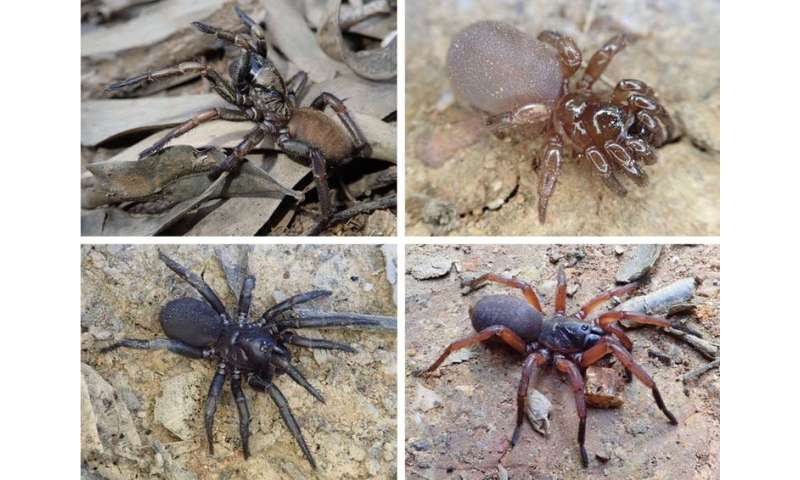 Trapdoor spider species that stay local put themselves at risk