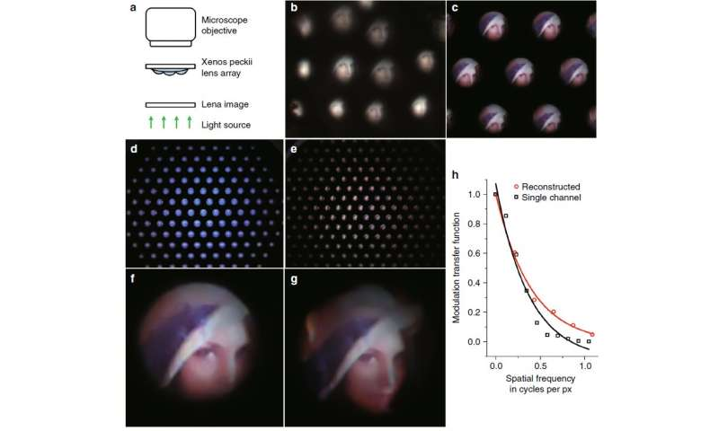 Ultrathin Digital Camera Inspired by Xenos Peckii Eyes